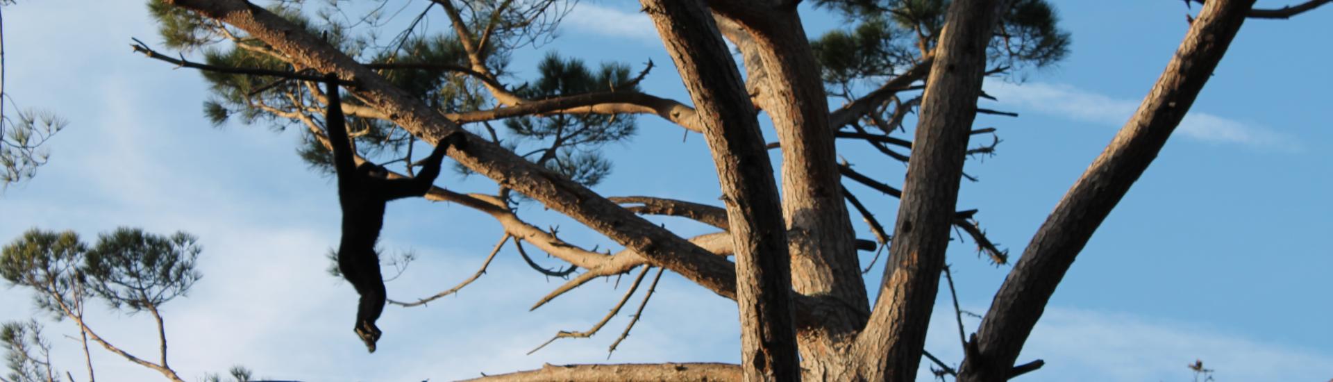 Gibão-preto (Hylobates concolor)