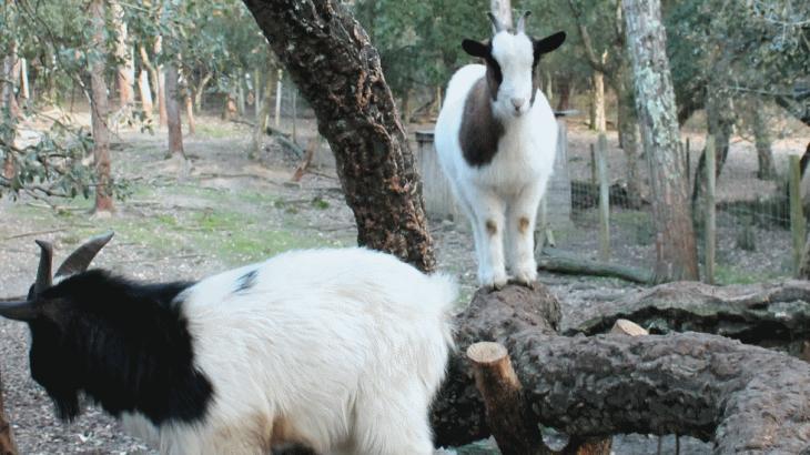 Cabra-anã (Capra hircus)