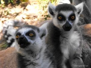 Lémure-de-cauda-anelada (Lemur catta)